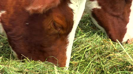 padok : Herd of cows feeding in the paddock outside, piebald red-white color. Stok Video