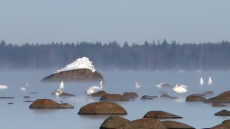 gracioso : Wild white swans in ice cold.