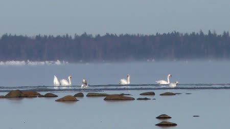 gracioso : Wild white swans floating in the water cold.