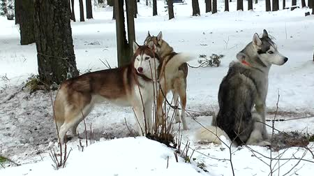 huskies : Sled Husky on leash to chain in wirter snow.
