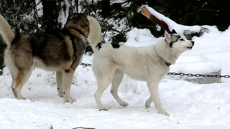 huskies : Sled Husky on leash to chain in snow.