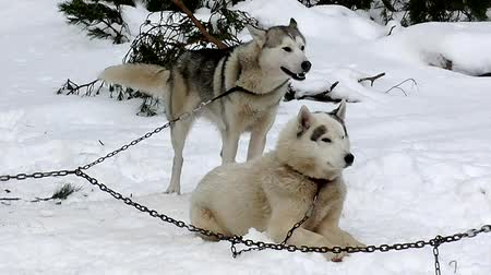 wyscigi : Sled Husky on leash to chain.