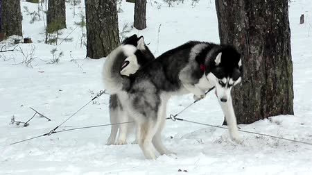 kürk : Sled Husky and malamute on the snow. Stok Video