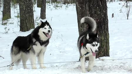 kürk : Sled dogs Husky and malamute. Stok Video