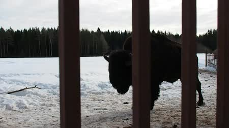 búfalo : Bison in the snowy forest in winter. The Buffalo is shaggy and powerful. Stock Footage