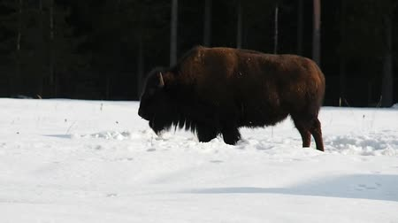 yellowstone : Bison in the snowy forest in winter. The Buffalo is shaggy and powerful. Stock Footage