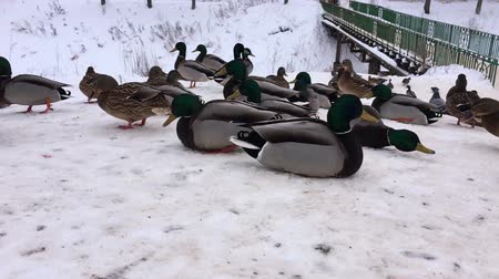 pigeon nest : Wild ducks in the snow at the frozen water. Birds waiting for winter.