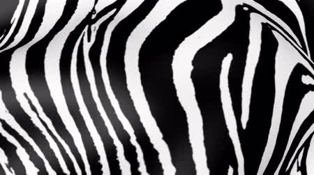 ヒョウ : Animated Zebra skin. Abstract zebras wool background.