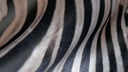 леопард : Animated Zebra skin. Abstract zebras wool background.