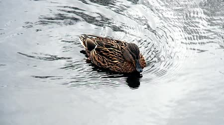 çiftleşme : Drake Mallard on water. Duck birds in free nature closely. Stok Video