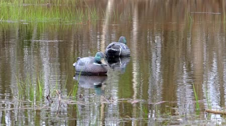 hiding : Hunting dummy on the water for decoy birds.