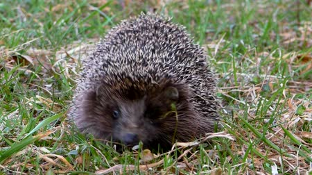 Hedgehog wild in the grass. Urchin animals in the natural environment.