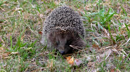 spiny : Hedgehog wild in the grass. Urchin animals in the natural environment.