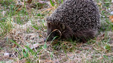 еж : Hedgehog wild in the grass. Urchin animals in the natural environment.