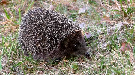 spikes : Hedgehog wild in the grass. Urchin animals in the natural environment.