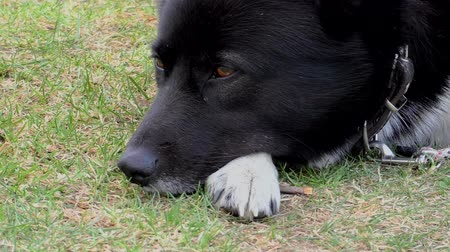 canino : The muzzle of an adult dog close. Pet doggy lying on the grass. Vídeos