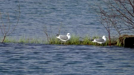 çığlık atan : Seagulls swim in the water during the mating season. Wild birds in their natural environment. Stok Video