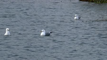 Seagulls swim in the water during the mating season. Wild birds in their natural environment. Wideo