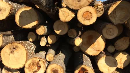 Trunks of cut pines in the forest. Felling of trees of wild nature. Wideo