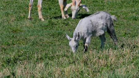 рог : Goats with kids graze on the lawn at the farm.
