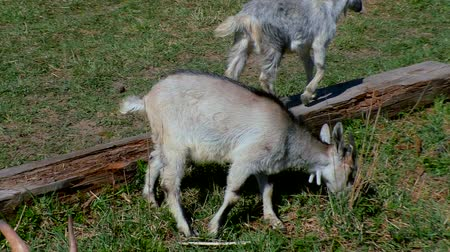 eat : Goats with kids graze on the lawn at the farm.