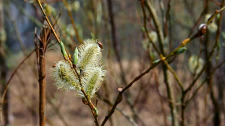 Spring willow with buds near the lake. Landscape Wildlife of Northern Europe.