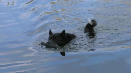 A hunting dog carries a shot-out duck out of the water. Russian - European Laika swims