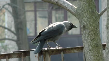 Jackdaw wild - Life of wild birds in the city.