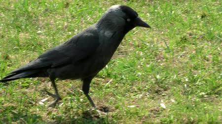 Jackdaw wild in the grass. Life of wild birds in the city. Stock Footage