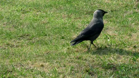 Jackdaw wild in the grass. Life of wild birds in the city. Wideo