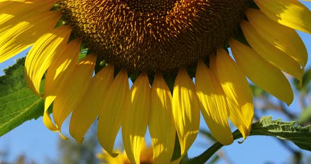 beautiful sunflower blooming with clear blue sky background, close-up scene Стоковые видеозаписи