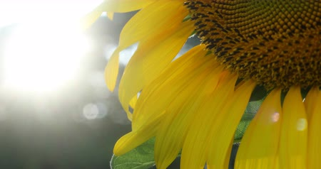 beautiful sunflower in springtime flower garden with sunrise in the morning