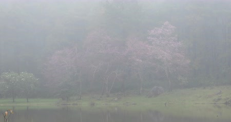beautiful landscape in nature forest with pink wild himalayan cherry flower blossom blooming in the mist, place of travel winter season in doi inthanon national park chiang mai, thailand