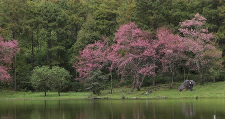 beautiful landscape with pink wild himalayan cherry flower blossom blooming in nature forest, place of travel winter season in doi inthanon national park chiang mai, thailand