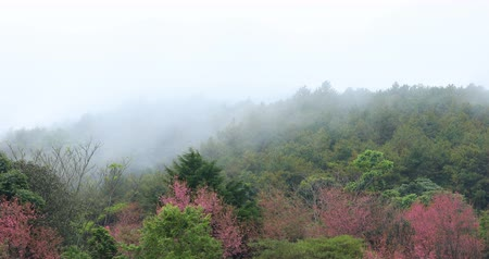 beautiful landscape mist moving in the forest mountain with pink wild himalayan cherry flower blossom blooming in nature forest, place of travel in doi inthanon national park chiang mai, thailand 動画素材