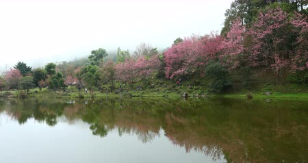 beautiful landscape nature, pink wild himalayan cherry flower blossom blooming in the forest, place of travel in doi inthanon national park chiang mai, thailand Стоковые видеозаписи