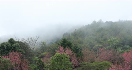 himalaia : beautiful landscape mist moving in the forest mountain with pink wild himalayan cherry flower blossom blooming in nature forest, place of travel in doi inthanon national park chiang mai, thailand Stock Footage