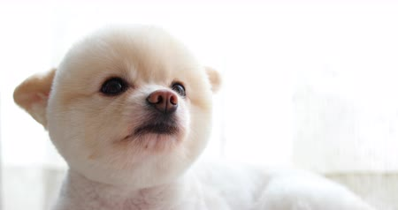 evcil hayvanlar : white pomeranian dog cute pet, close-up round animal funny face grooming short hair style Stok Video