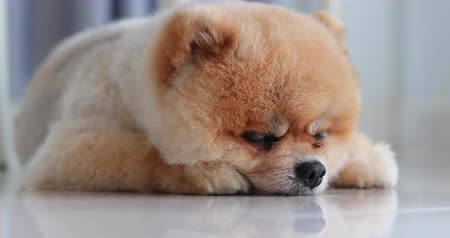 devanear : cute puppy pomeranian dog sleeping daydream in home Stock Footage