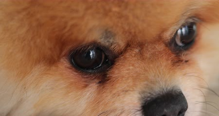 szemgolyó : close-up eye animal looking of pomeranian dog