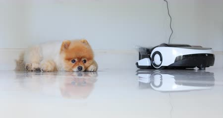 devanear : brown pomeranian dog sleeping in home with automatic vacuum cleaner charging power