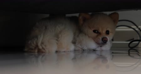oneself : white pomeranian dog small pet laying ensconced under sofa furniture Stock Footage