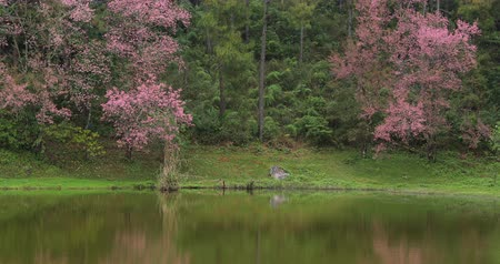 serenidade : beautiful landscape, pink wild himalayan cherry blossom flower around lake