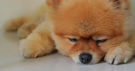 sonhar acordado : cute fat pomeranian dog sleeping daydream in home Vídeos