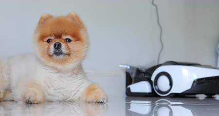 devanear : cute pomeranian dog laying down in home with automatic vacuum cleaner charging power