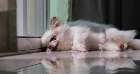 ленивый : white adult chihuahua small dog  sleeping wait the owner in front of door Стоковые видеозаписи