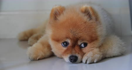 devanear : pomeranian dog cute pets laying down miss owner