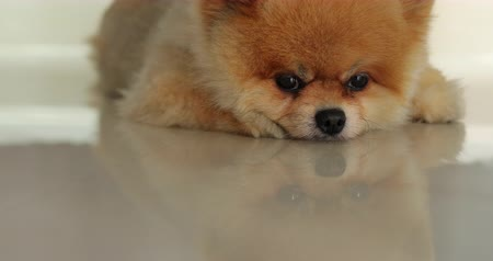 ленивый : cute fat pomeranian dog sleeping daydream in home Стоковые видеозаписи