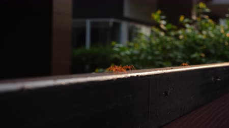 red ant : red ant animal walking on fence Stock Footage