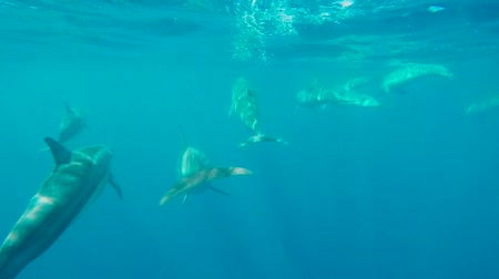 divas : Swimming with dolphins in a beautiful and blue tropical sea. Stock Footage